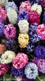 David's new favorite flower... Hyacinths smell delightfully sweet!